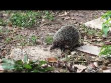Embedded thumbnail for Strange visitors in my garden: A lame hedgehog